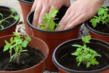 какую купить землю для рассады помидор дома