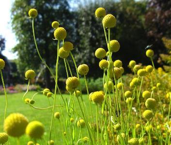 цефалофора земляничная выращивание из семян